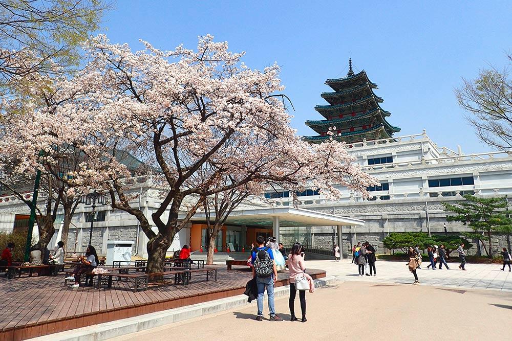 Сакура возле Национального музея фольклора