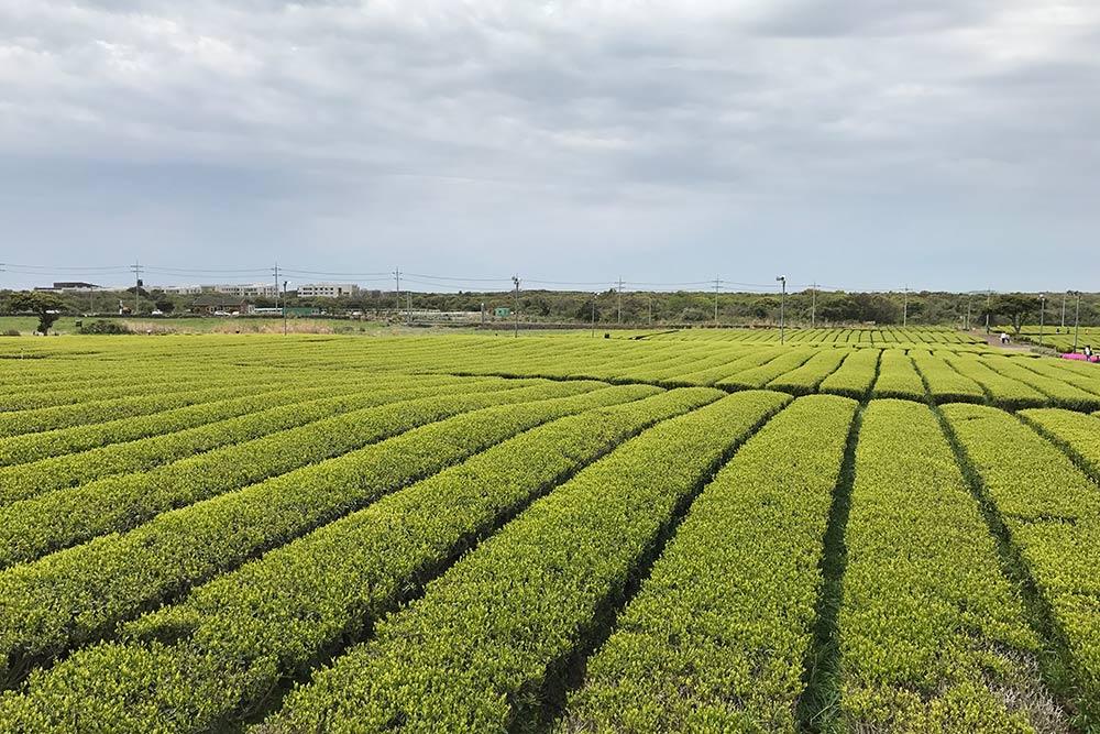Завораживающая геометрия чайных плантаций О'Саллок