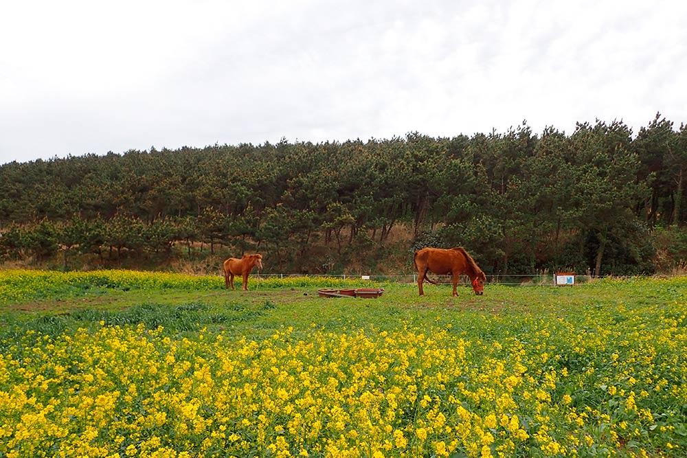 Местные жители зарабатывают на туристах, которые хотят сфотографироваться с лошадьми. Посещение поля и фото с лошадкой стоит 1000₩ (около 50рублей)