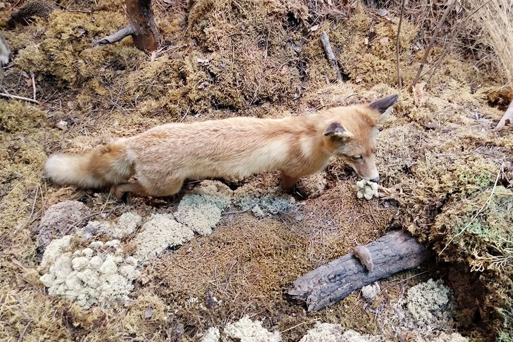Чучело лисицы выглядит очень естественно, особенно нафоне лесной подстилки. Найдите нафото мышку иежика