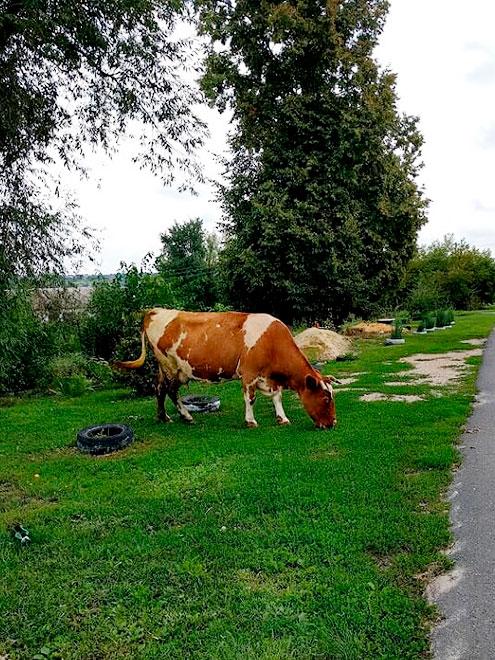 Коров на улицах становится все меньше, каки старушек, которые их пасут. Молодежь не хочет заводить крупный скот: с ниммного мороки. А молоко легко можно купить в супермаркете