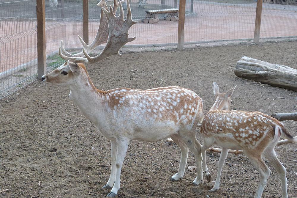 В зоопарках пятнистые олени живут примерно на 7 лет дольше, чем в дикой природе