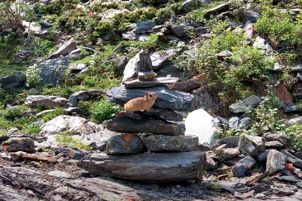 Это алтайская пищуха. Они живут на камнях, и мы часто их видели. Пищухи бывают светло-коричневого цвета, иногда черного. Они громко свистят, как птицы, таким образом сигнализируя обопасности