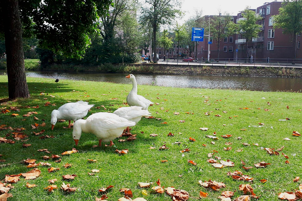 В парке в центре города с вами будут спокойно гулять гуси