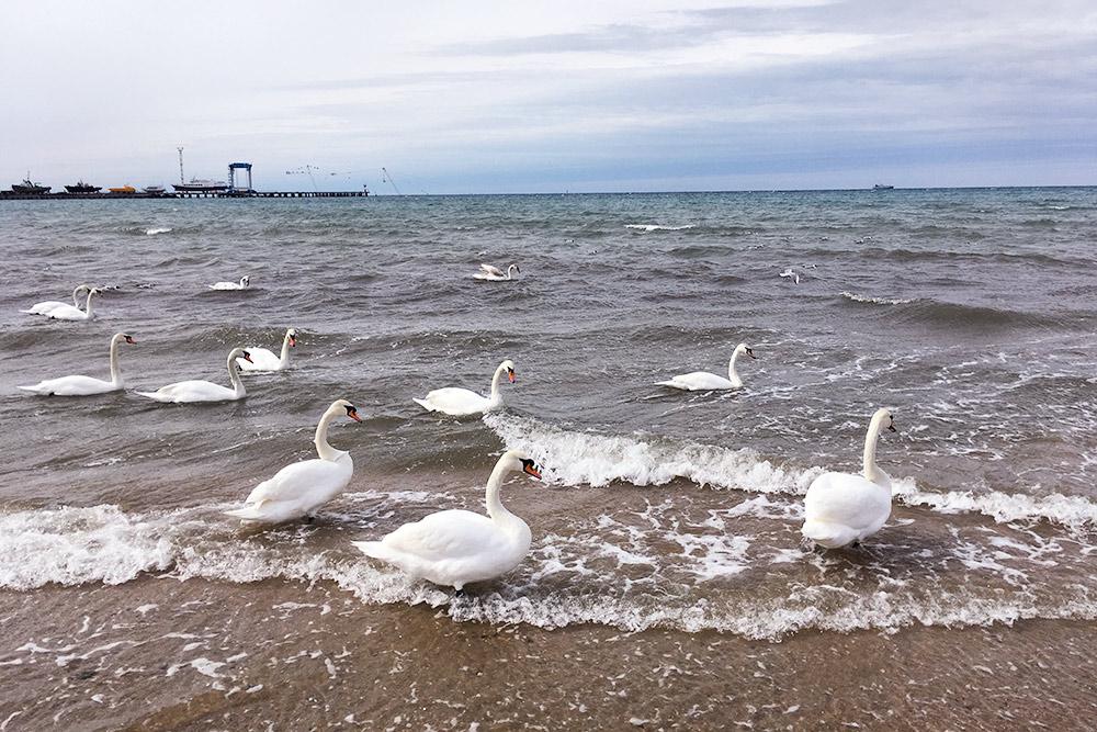 Вмарте усамого берега плавала стая лебедей. Судя поанапским инстаграмам, это нередкость