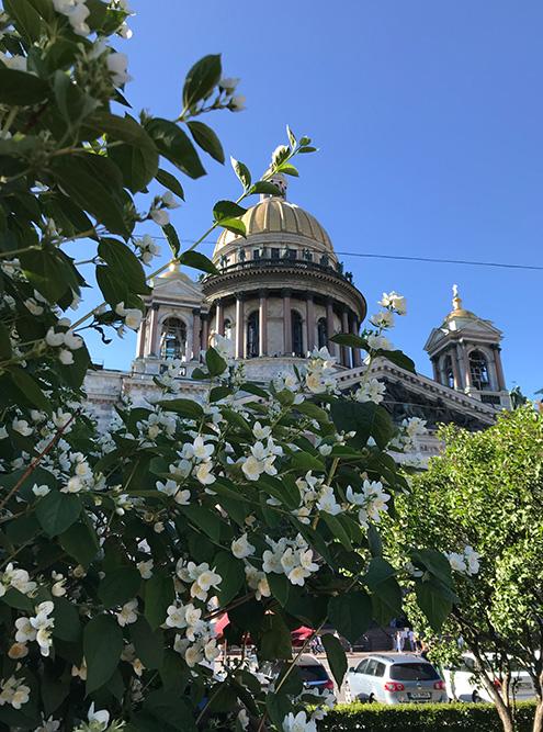 Перед Исаакиевским собором весной и летом постоянно что-то цветет: сирень, розы, жасмин