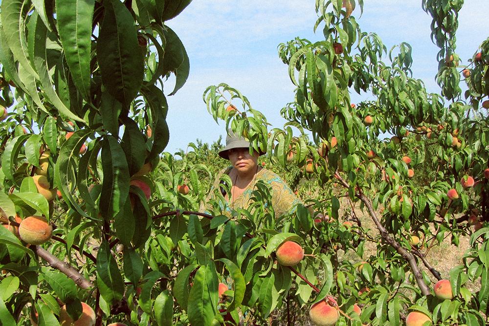 Вкусные персики из сада по 80 р. за килограмм