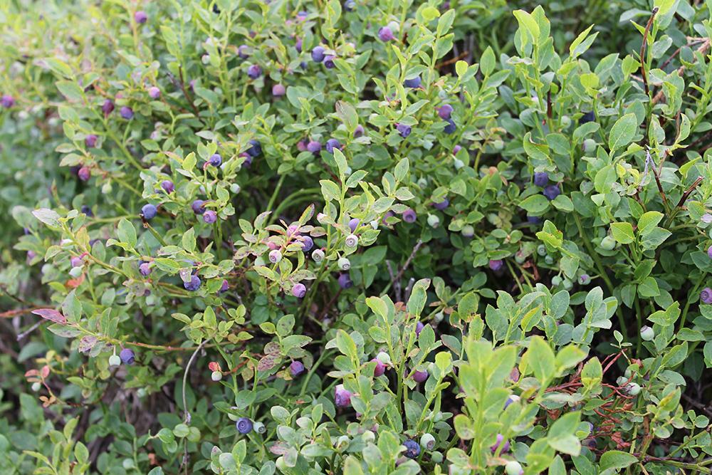 По пути на Тальцинский пик растет много черники