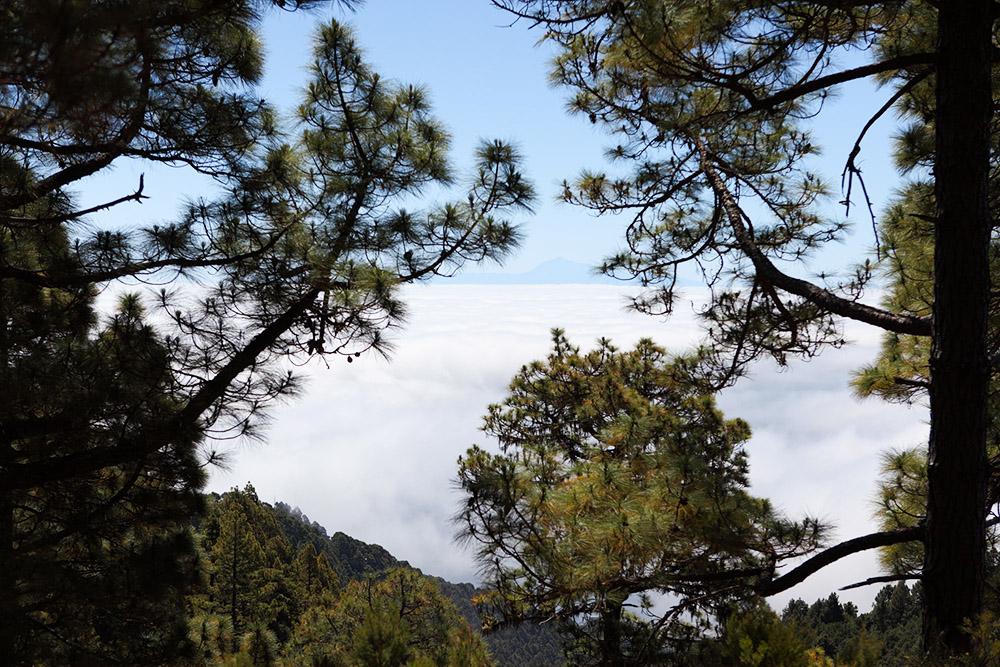 Канарские сосны знамениты своей огнеупорностью: прилесном пожаре обычно сгорают только небольшие ветви и иголки. Стволы остаются, и иголки вырастают заново