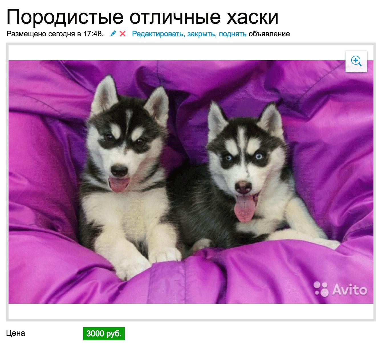 Породистые хаски за 3000 рублей ездят только на иномарках за 149 000