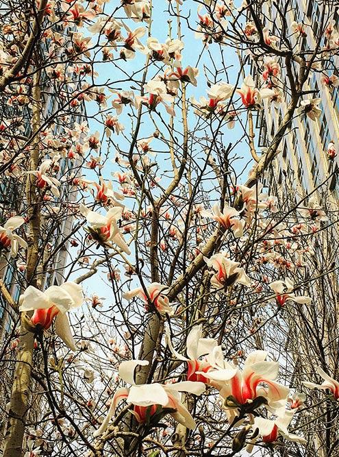 С конца марта до середины апреля в Пекине цветут магнолии