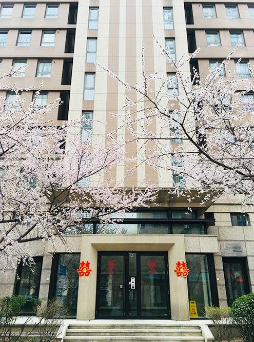 Цветущие сакуры на улицах города