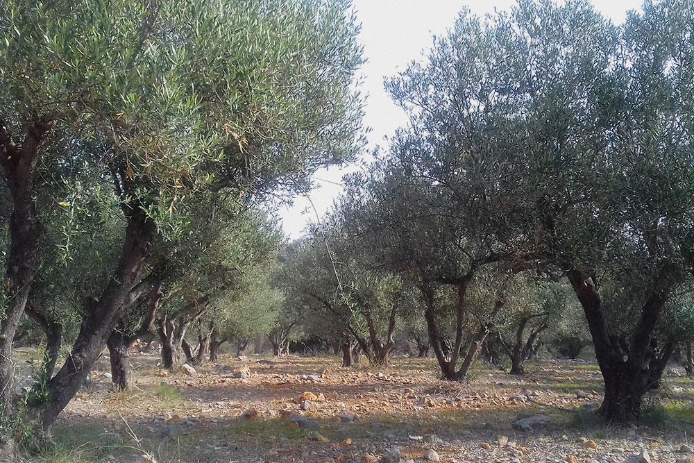 Критские оливки — из них получается одно из самых лучших масел в мире