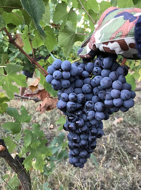 Люблю бывать на винодельнях. Когда получается, участвую в сборе винограда. В 2020 году была на Uppa Winery. На фото — прекрасная барбера