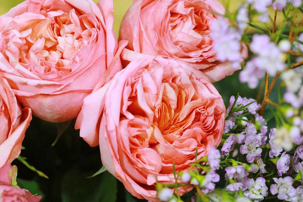 Роза «пинк пиано», относится к чайно-гибридным розам. Фото: Ксения Колесникова