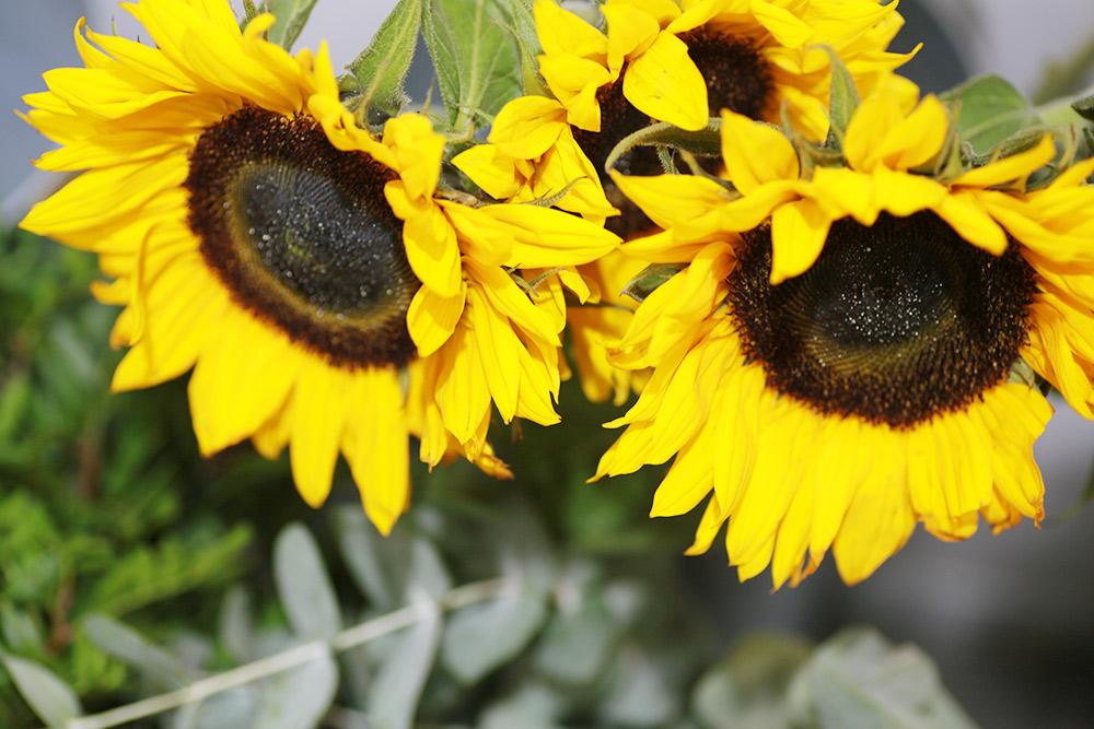 Подсолнух. Примерно в 16 веке этот цветок привезли в Европу из степей Северной Америки. Фото: Ксения Колесникова