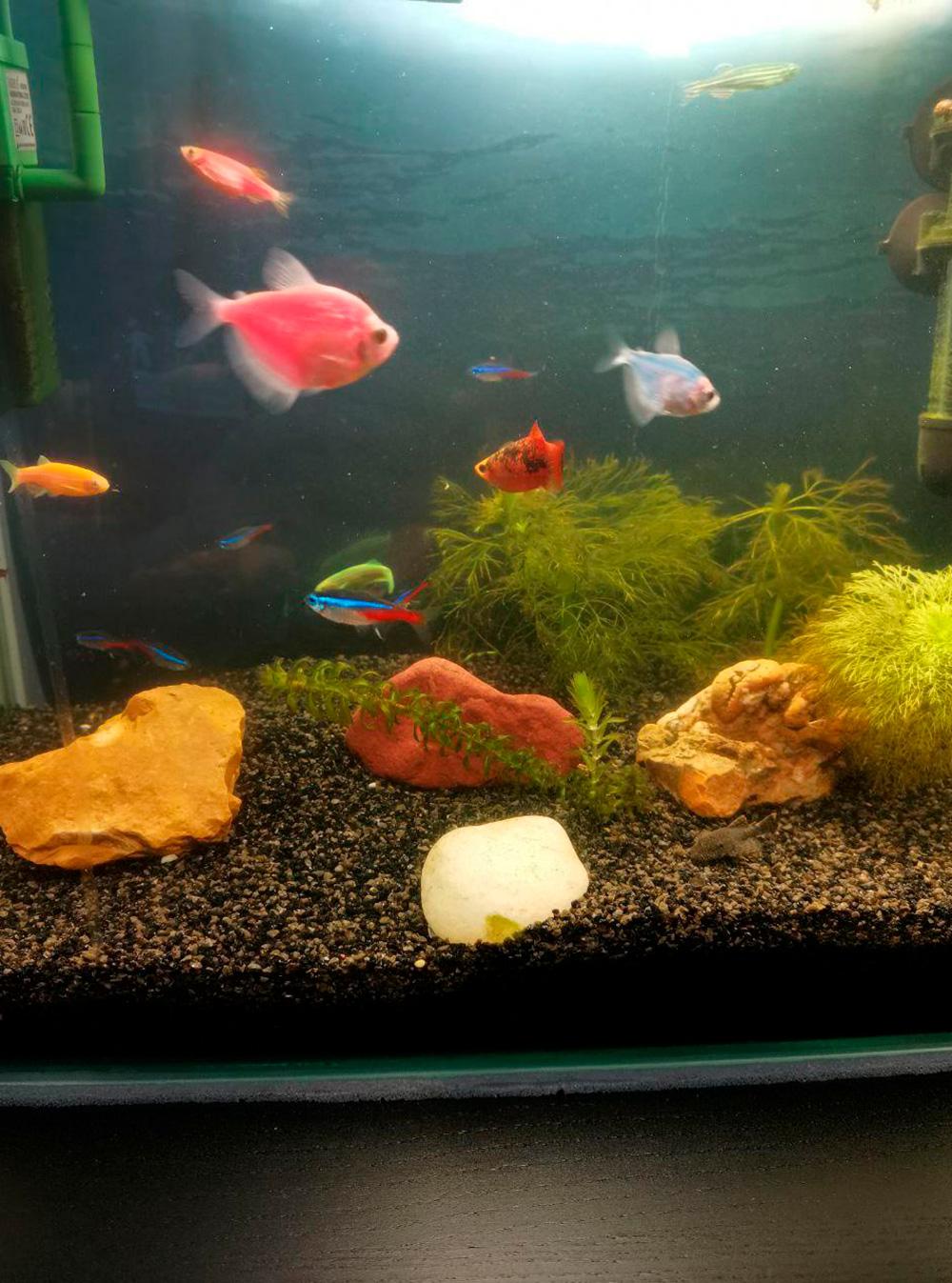 Пока меня не было дома, Р. занимался аквариумом с рыбками, который купил два месяца назад. Забот с аквариумом много: нужно прочищать фильтр, менять воду, чистить дно, подстригать водоросли, кормить рыб