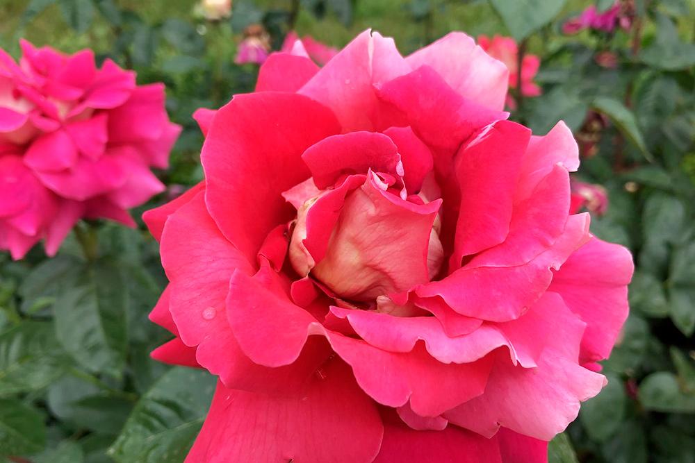 Посмотрели на розы