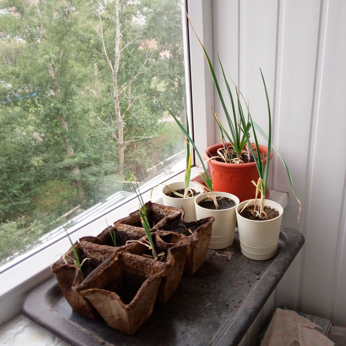 На балконе я выращиваю чеснок и укроп. Но осенью они уже не такие красивые