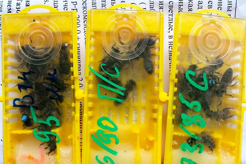 Пчелиные матки продаются в таких мини-клетках. Помимо матки, там свита из 6—8 пчел и корм