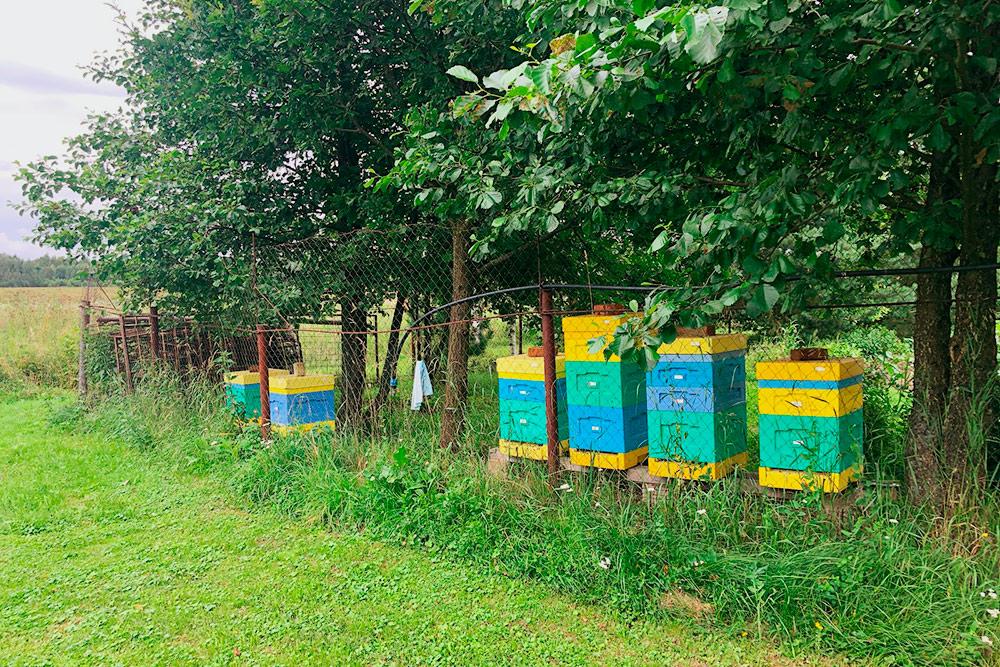 Моя пасека находится на участке в 100км от Москвы. Улья стоят на той стороне участка, где нет соседей, такчто мои пчелы никому не мешают. Сейчас у меня пять пчелиных семей, я планирую создать шестую