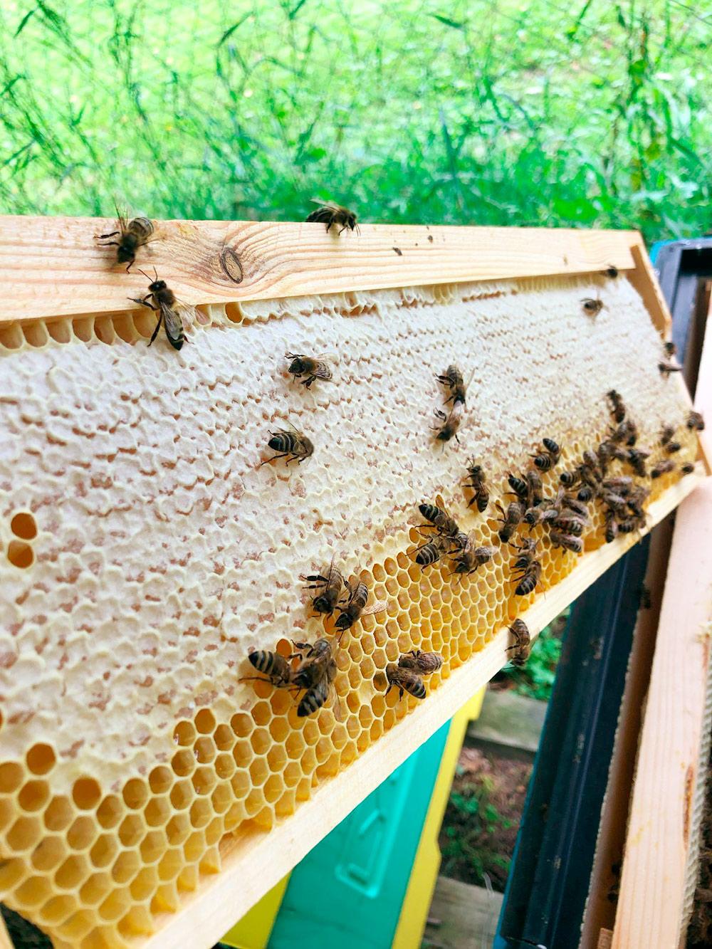 Так выглядит созревший, «запечатанный» мед — его можно откачивать и есть