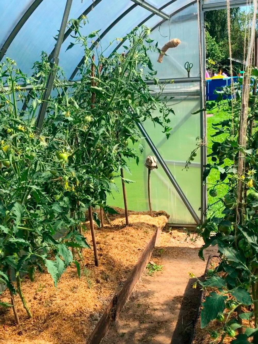 Парник с помидорами в деревне. Эти помидоры — самые вкусные и ароматные