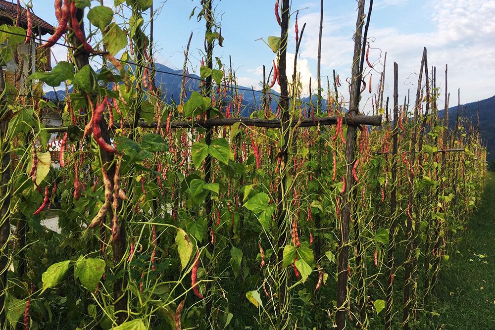 Так в Ламоне растет фасоль
