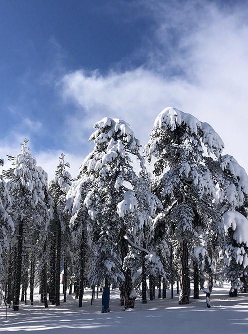 В горах можно увидеть красивые заснеженные деревья. Даже не верится, что это Кипр. Источник: Виталий Видавский