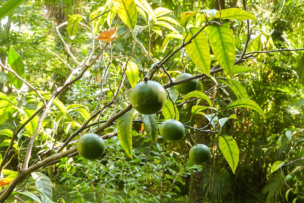 Абхазские мандарины созревают к декабрю и хорошо очищаются от кожуры