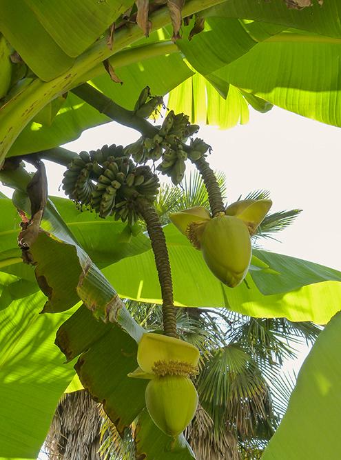 Бананы в Абхазии растут, но не созревают