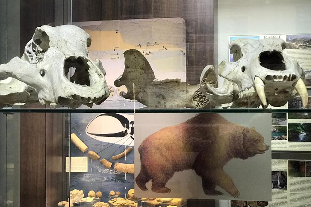 На фото справа в верхнем углу — клыки пещерного медведя. Похоже, это был действительно огромный зверь