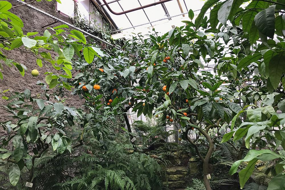 В оранжерее плодоносят деревья. Можно увидеть, как зреют мандарины, апельсины, лимоны, инжир