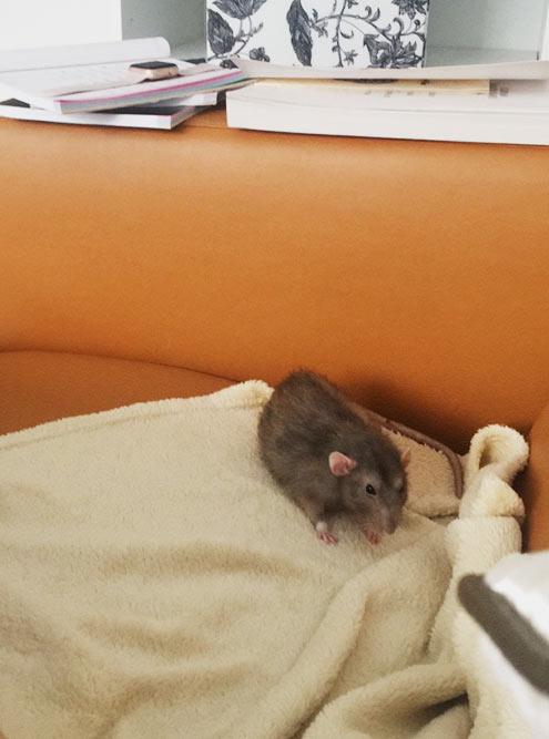 Крыса живет в клетке, но каждый день я выпускаю ее погулять на диване