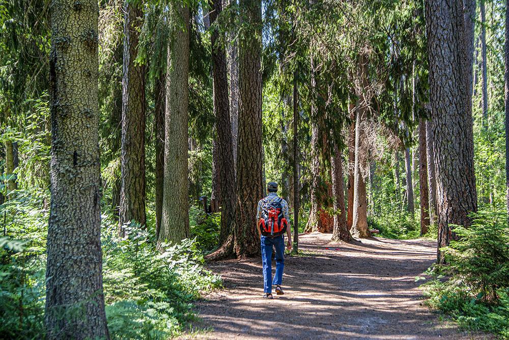 Лиственницы выглядят просто потрясающе. Меня поражает концентрация таких больших деревьев в роще: средняя высота лиственниц — 40—50 метров, а толщина — от полуметра до метра