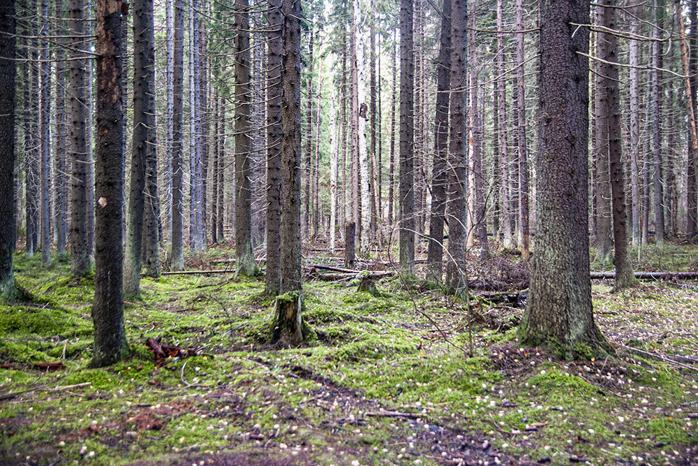 Жарким летом в густом сосновом лесу особенно хорошо