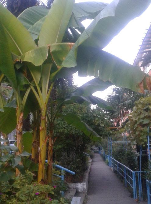 Идем домой через цветущие дворы, пальмы ибананы