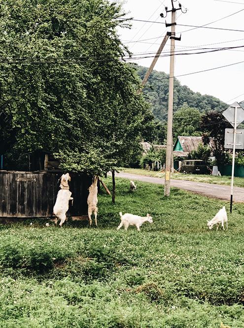 Местные домашние животные не очень дружелюбны и периодически нападают на туристов