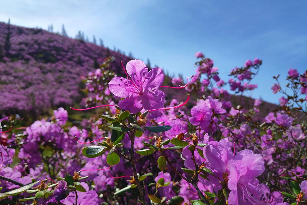 В мае по пути можно увидеть цветение маральника