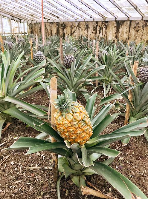 Никогда не задумывался, как растут ананасы. Было интересно увидеть это своими глазами