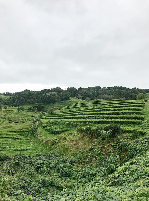 По чайной плантации мы гуляли больше часа