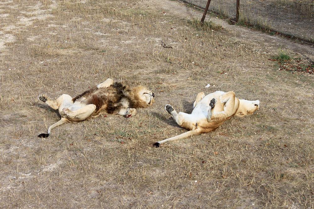 Львы живут своей жизнью и не обращают внимания на посетителей — пока вы не захотите их покормить. Мясо для львов продают в сафари-парке. Посетители наблюдают за ними на безопасном расстоянии — с железных мостков