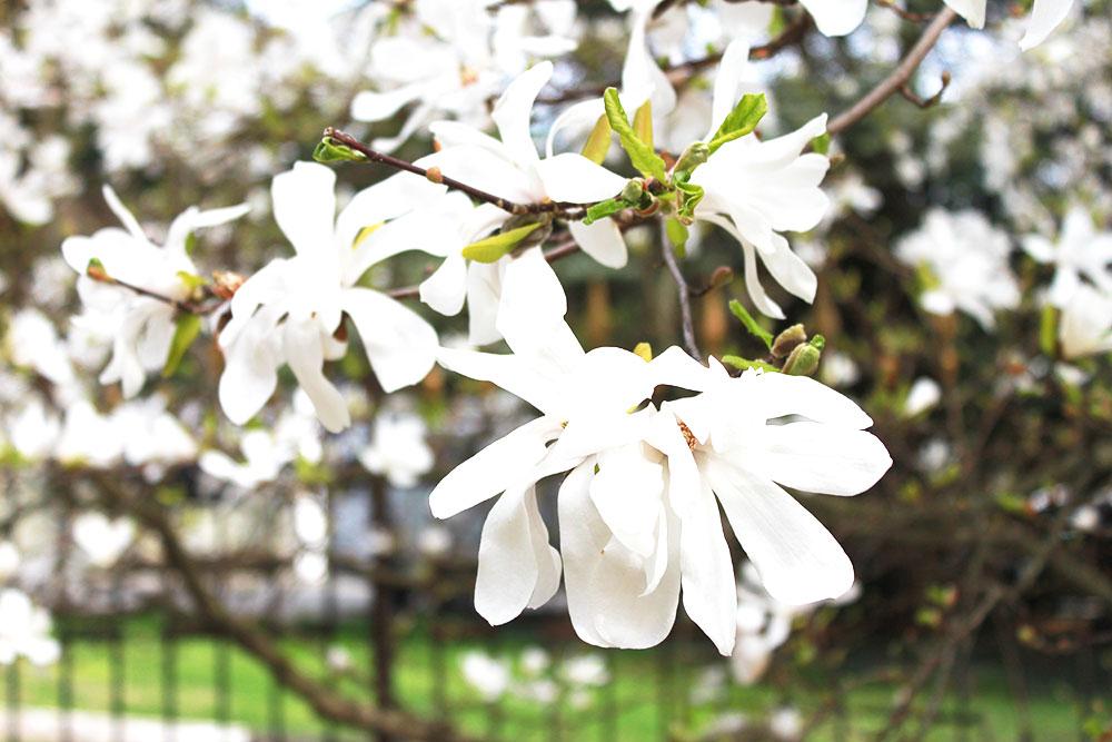 В начале апреля в моей родной Карелии лежит снег, а в Крыму цветут магнолии