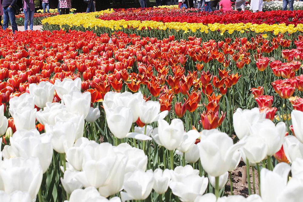 Крым — родина тюльпанов, из которых были выведены садовые сорта