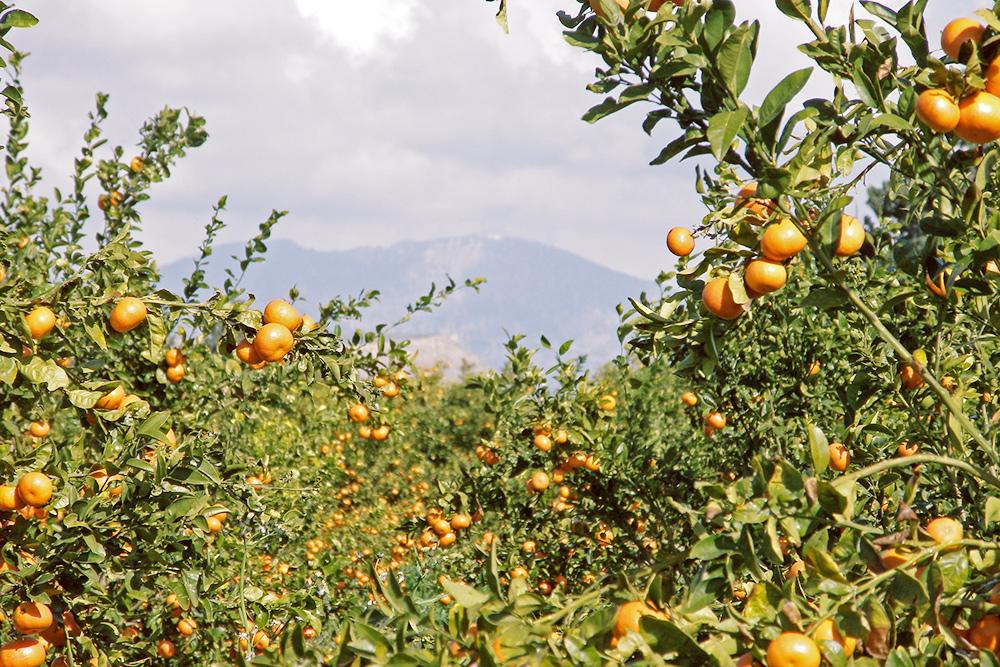Срывать спелые мандарины с дерева — одно из самых ярких впечатлений от Кипра. Источник: Amanda Slater / flickr.com
