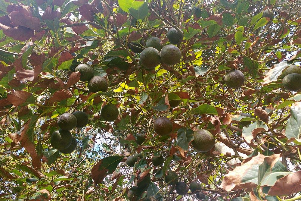 Авокадо очень сочные и большие. Если они не огорожены, то их можно срывать и есть. Килограмм таких авокадо на острове продают за 6 тысяч песо, а на материке — в три раза дешевле