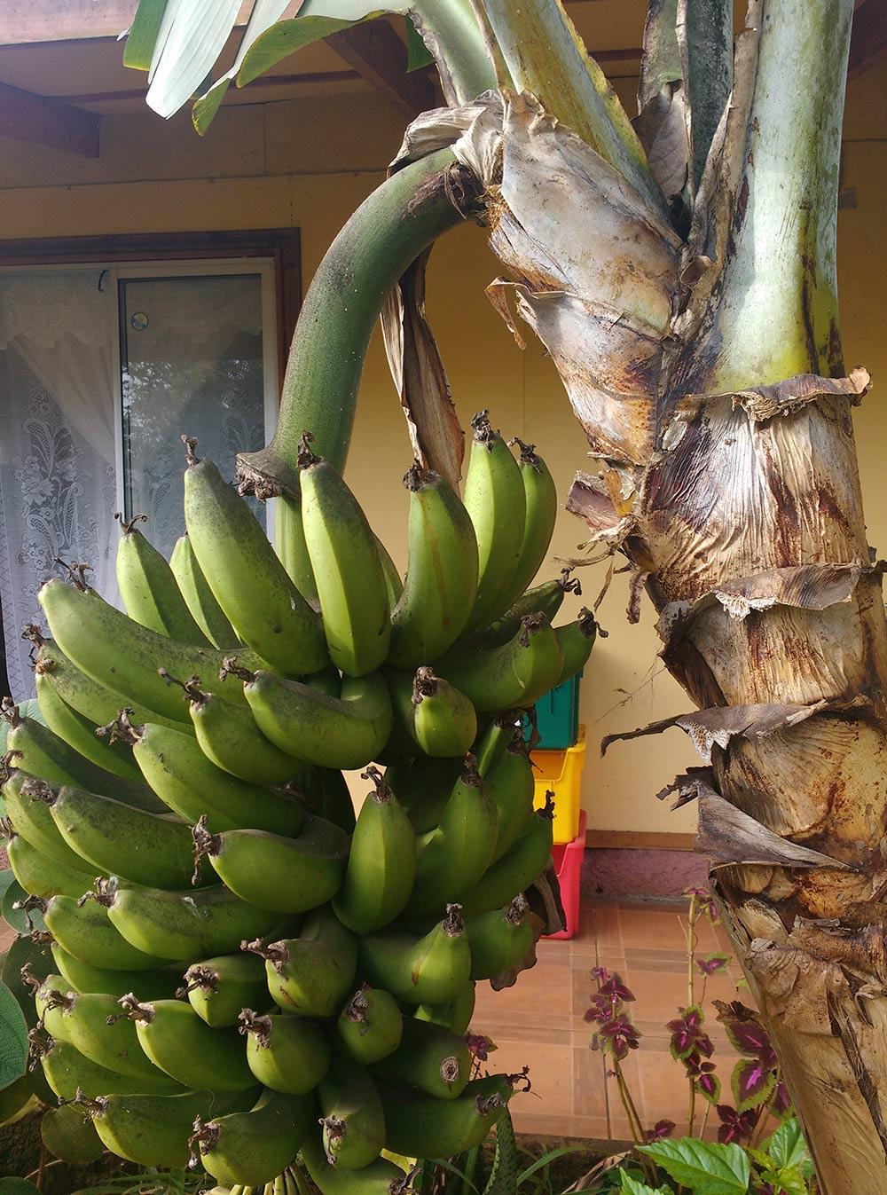 Бананы перед хижиной, в которой я ночевал