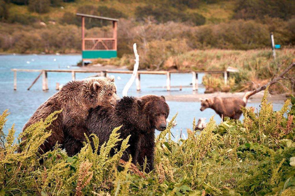 Медведи на Курильском озере привыкли к людям и не стесняются их. Источник: Эрнест Леонидов