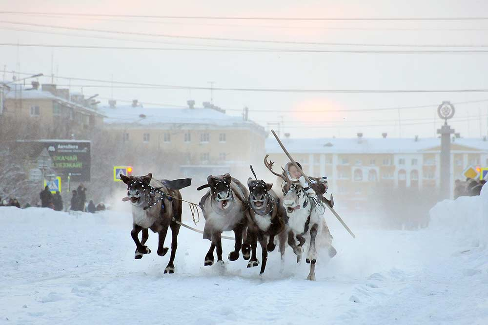 Гонки на оленьих упряжках проводят прямо в городе, для чего на несколько дней перекрывают одну из центральных улиц. Источник: Владимир Юрлов