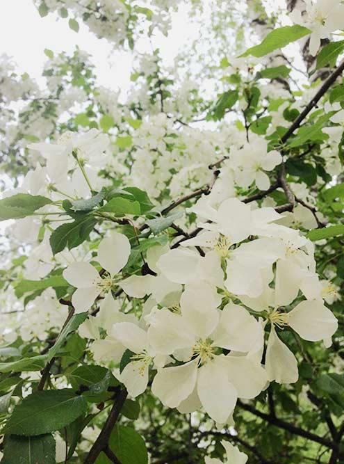 26 мая 2016 года в Сыктывкаре уже вовсю цвели яблони
